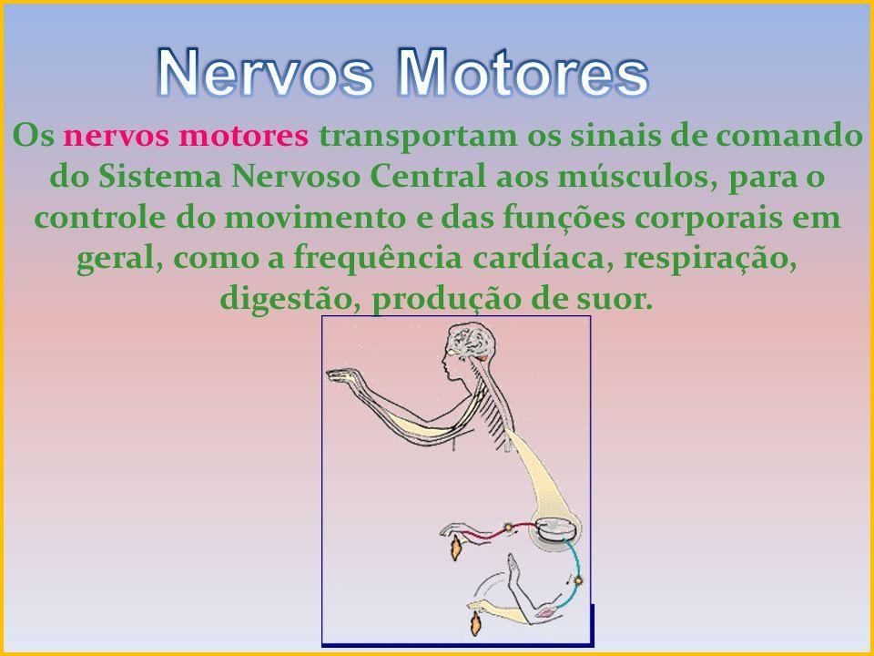 Os nervos motores transportam os sinais de comando do Sistema Nervoso Central aos músculos, para o controle do movimento e das funções corporais em ge