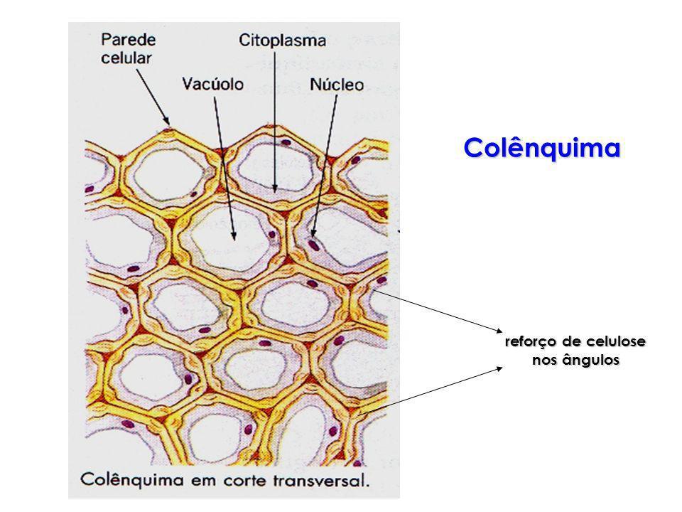 reforço de celulose nos ângulos Colênquima