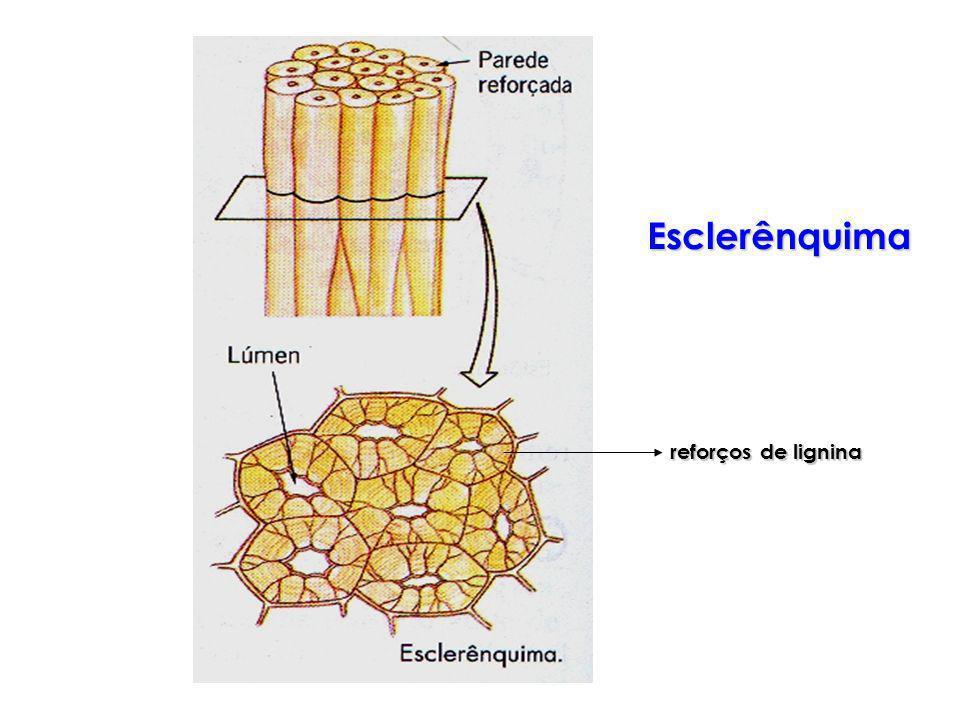 reforços de lignina Esclerênquima