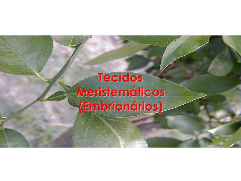 Tecidos Meristemáticos (Embrionários)