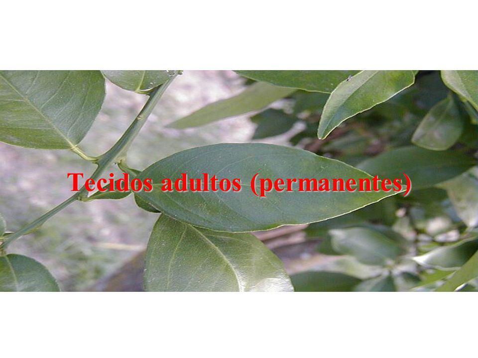 Tecidos adultos (permanentes)