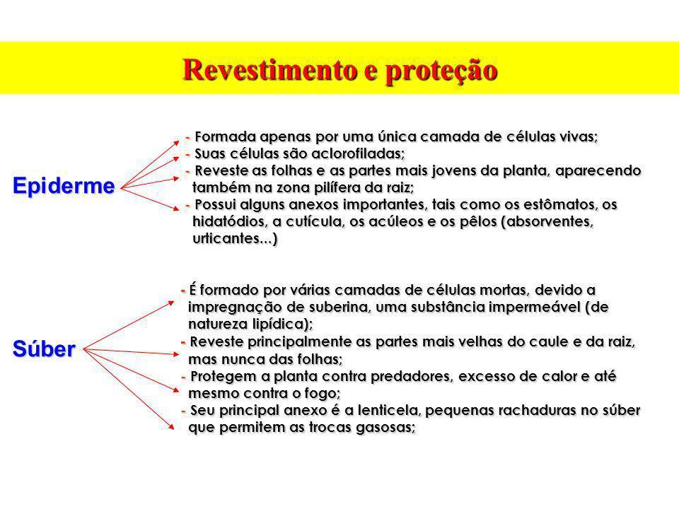 Revestimento e proteção EpidermeSúber -Formada apenas por uma única camada de células vivas; - Formada apenas por uma única camada de células vivas; -