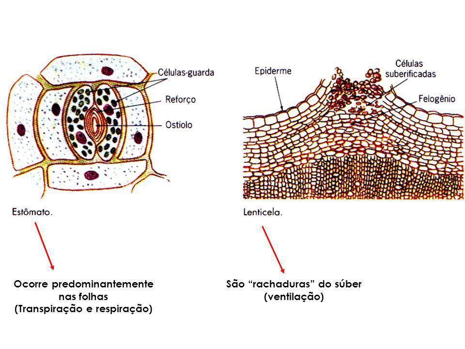 Ocorre predominantemente nas folhas (Transpiração e respiração) São rachaduras do súber (ventilação)