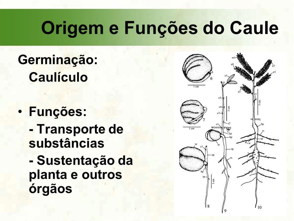 Germinação: Caulículo Funções: - Transporte de substâncias - Sustentação da planta e outros órgãos Origem e Funções do Caule
