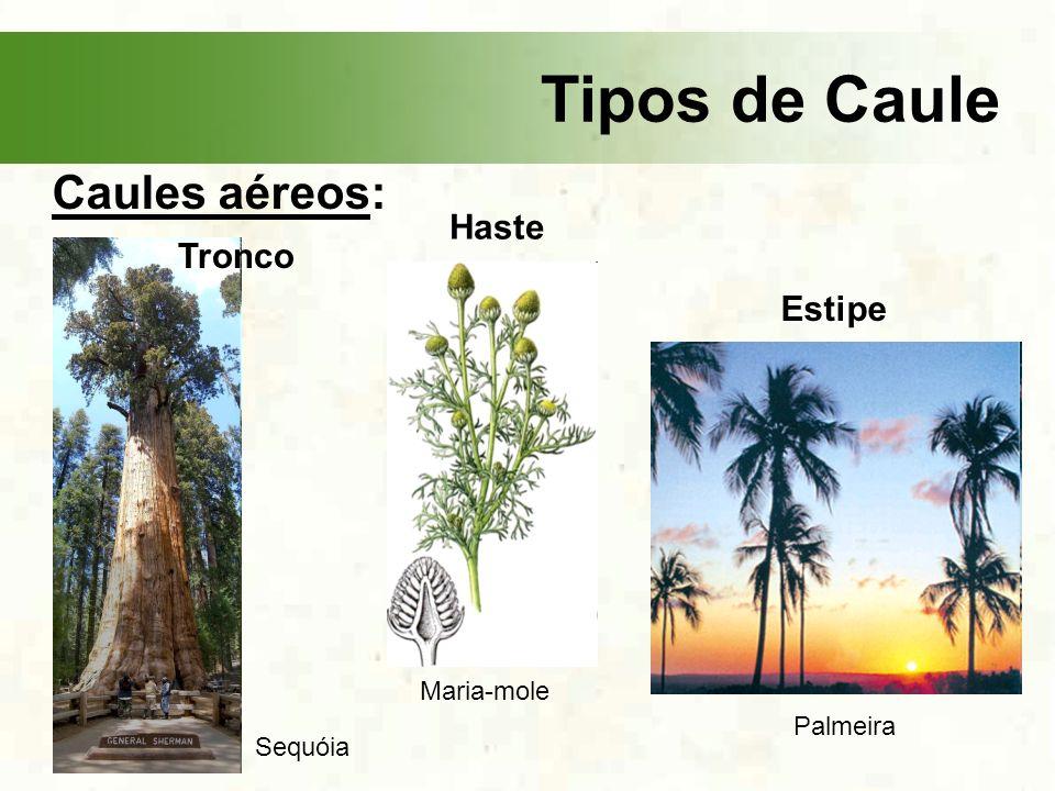 Tipos de Caule Caules aéreos: Tronco Haste Sequóia Maria-mole Estipe Palmeira