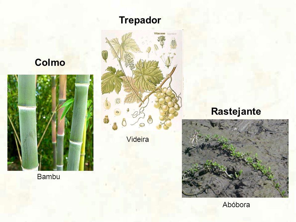 Colmo Bambu Trepador Videira Rastejante Abóbora