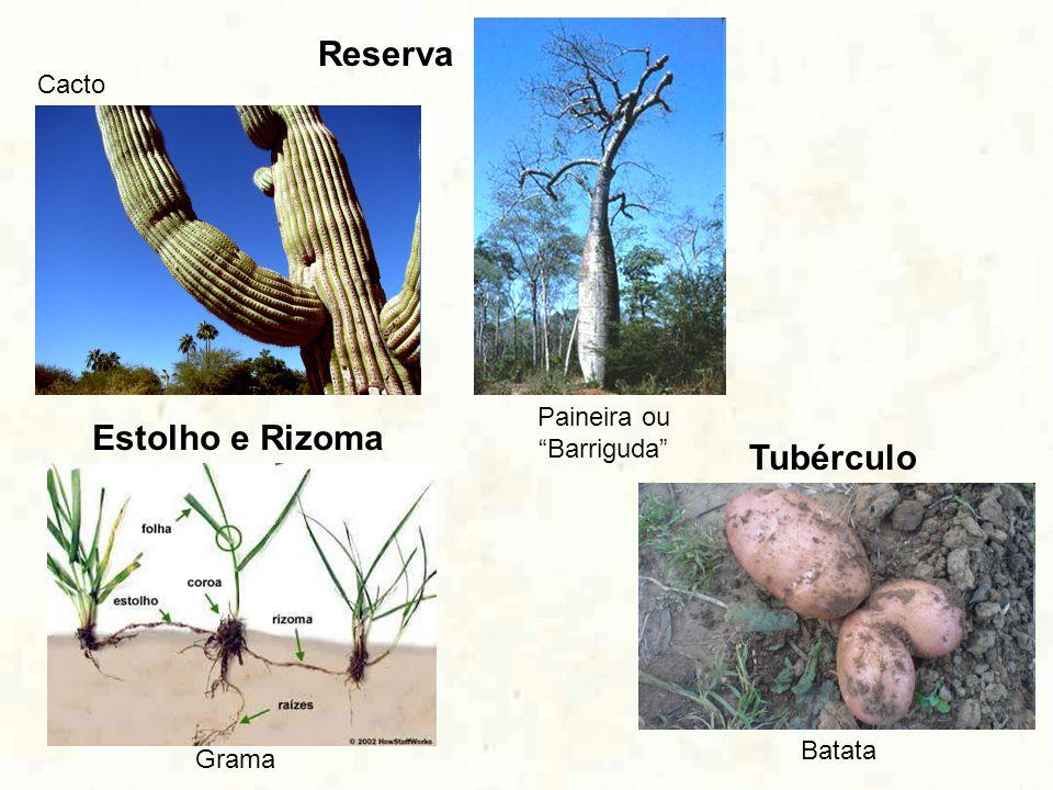 Reserva Cacto Paineira ou Barriguda Estolho e Rizoma Grama Tubérculo Batata