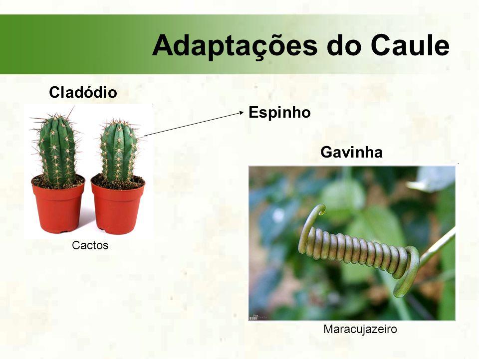 Adaptações do Caule Cladódio Cactos Espinho Gavinha Maracujazeiro