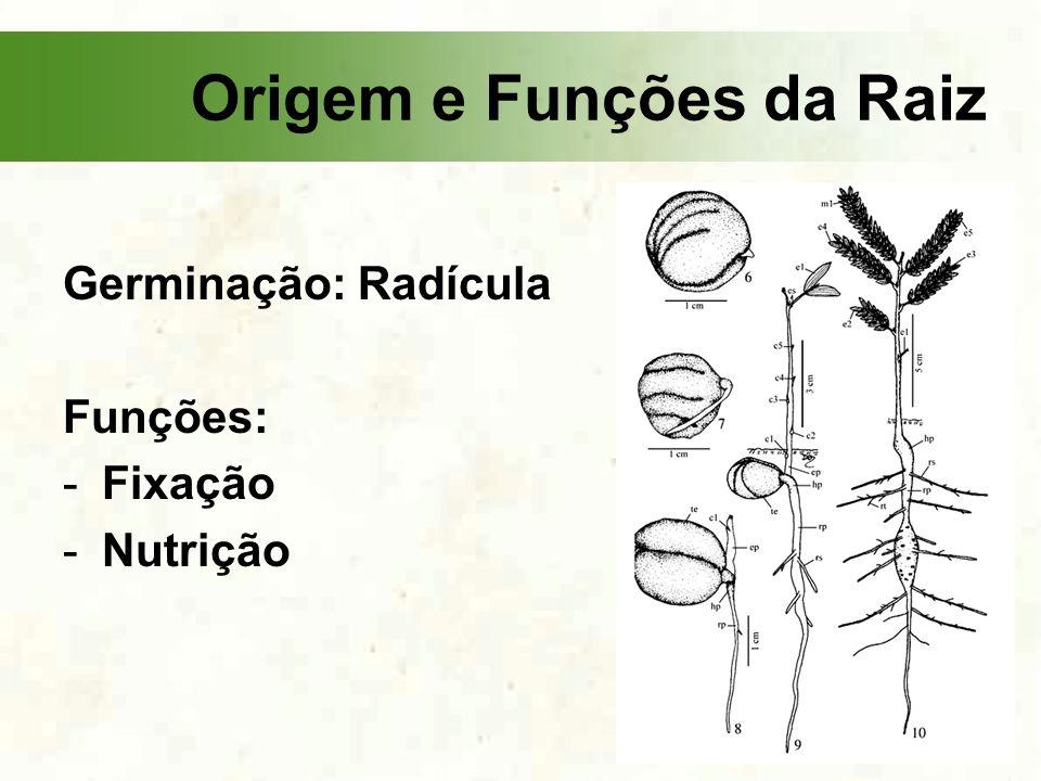 Germinação: Radícula Funções: -Fixação -Nutrição Origem e Funções da Raiz