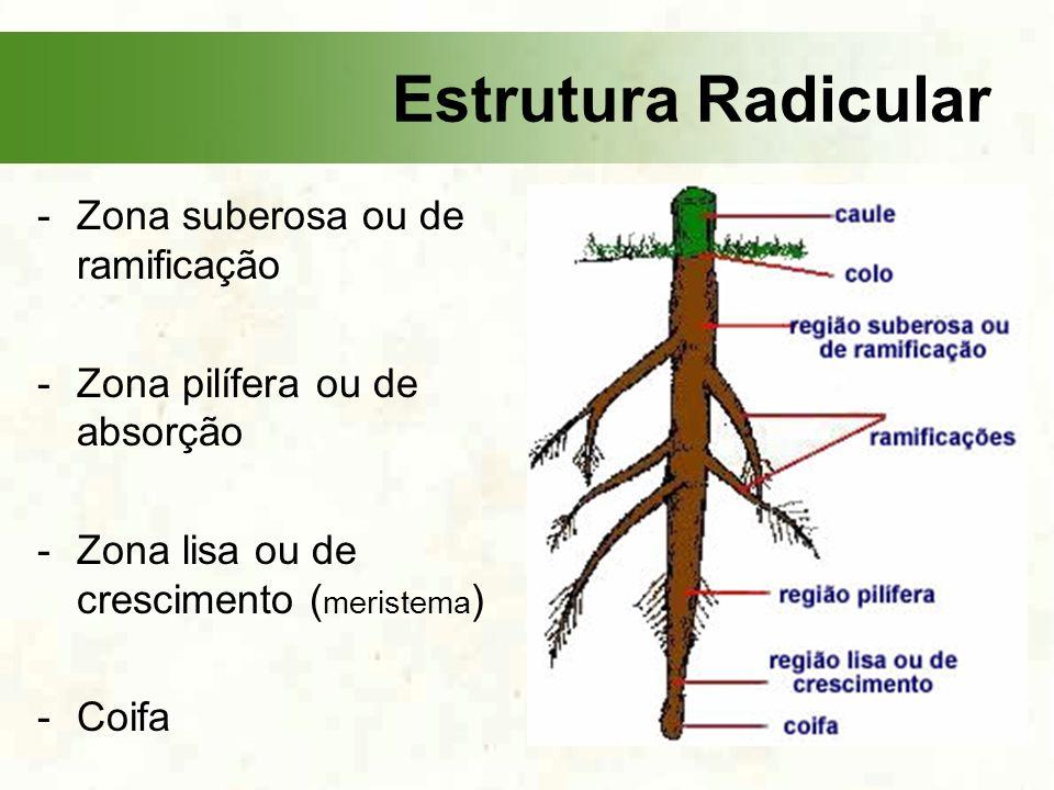 -Zona suberosa ou de ramificação -Zona pilífera ou de absorção -Zona lisa ou de crescimento ( meristema ) -Coifa Estrutura Radicular