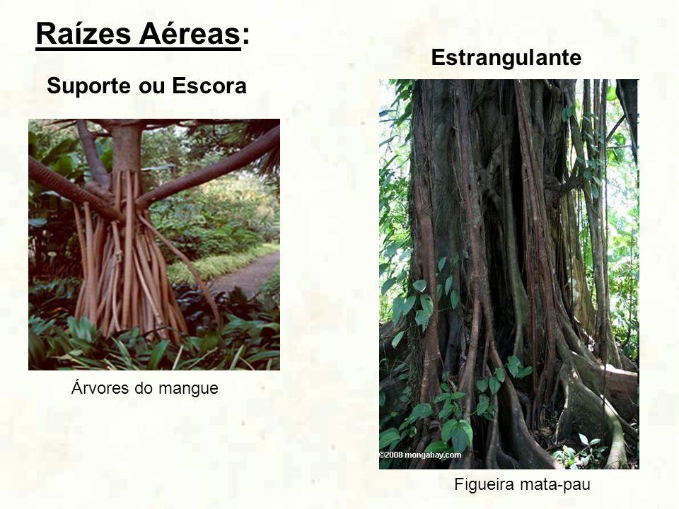 Raízes Aéreas: Suporte ou Escora Árvores do mangue Estrangulante Figueira mata-pau