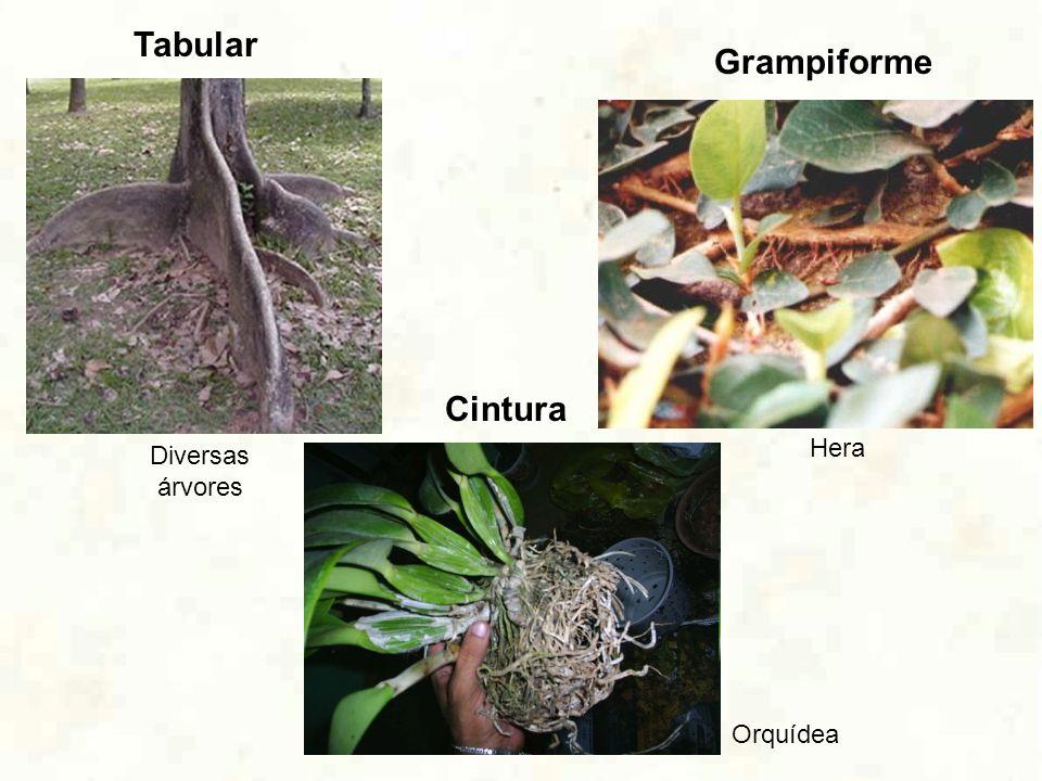 Tabular Cintura Grampiforme Orquídea Diversas árvores Hera