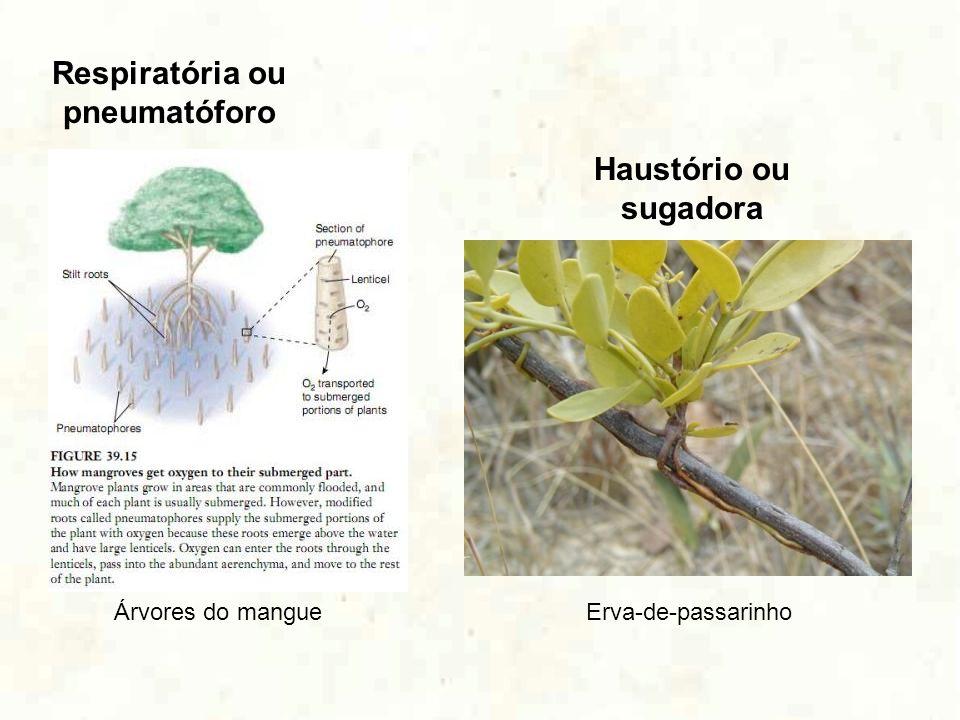 Respiratória ou pneumatóforo Haustório ou sugadora Árvores do mangueErva-de-passarinho