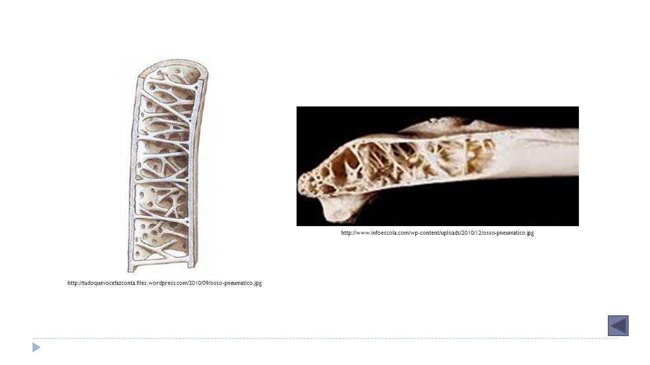 http://tudoquevocefazconta.files.wordpress.com/2010/09/osso-pneumatico.jpg http://www.infoescola.com/wp-content/uploads/2010/12/osso-pneumatico.jpg