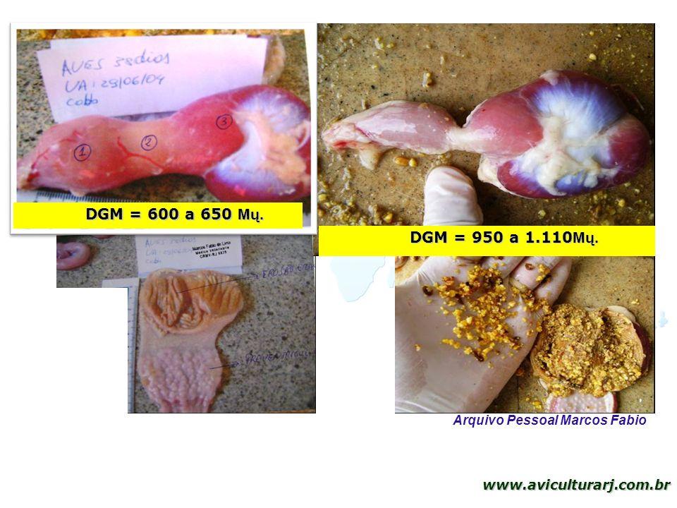 29 www.aviculturarj.com.br DGM = 950 a 1.110 Mų. DGM = 600 a 650 Mų. Arquivo Pessoal Marcos Fabio