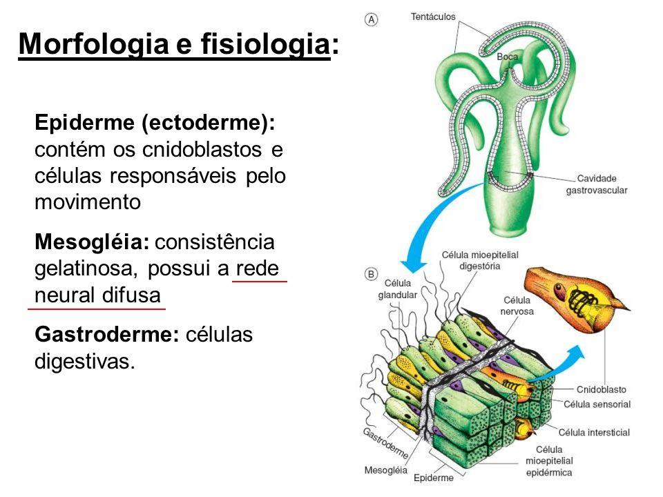 Morfologia e fisiologia: Epiderme (ectoderme): contém os cnidoblastos e células responsáveis pelo movimento Mesogléia: consistência gelatinosa, possui