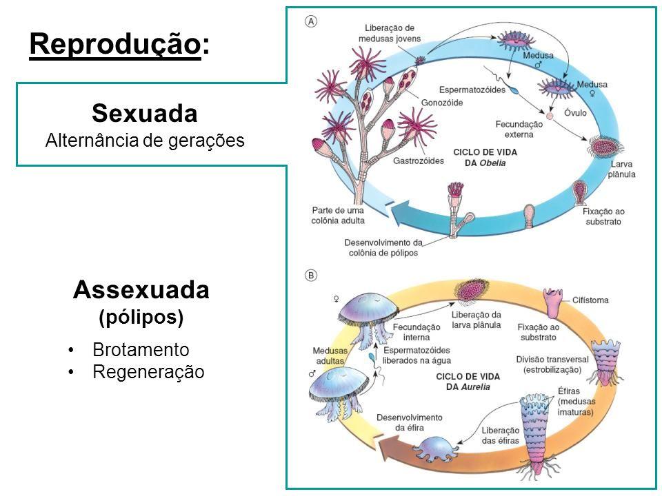 Reprodução: Assexuada (pólipos) Brotamento Regeneração Sexuada Alternância de gerações