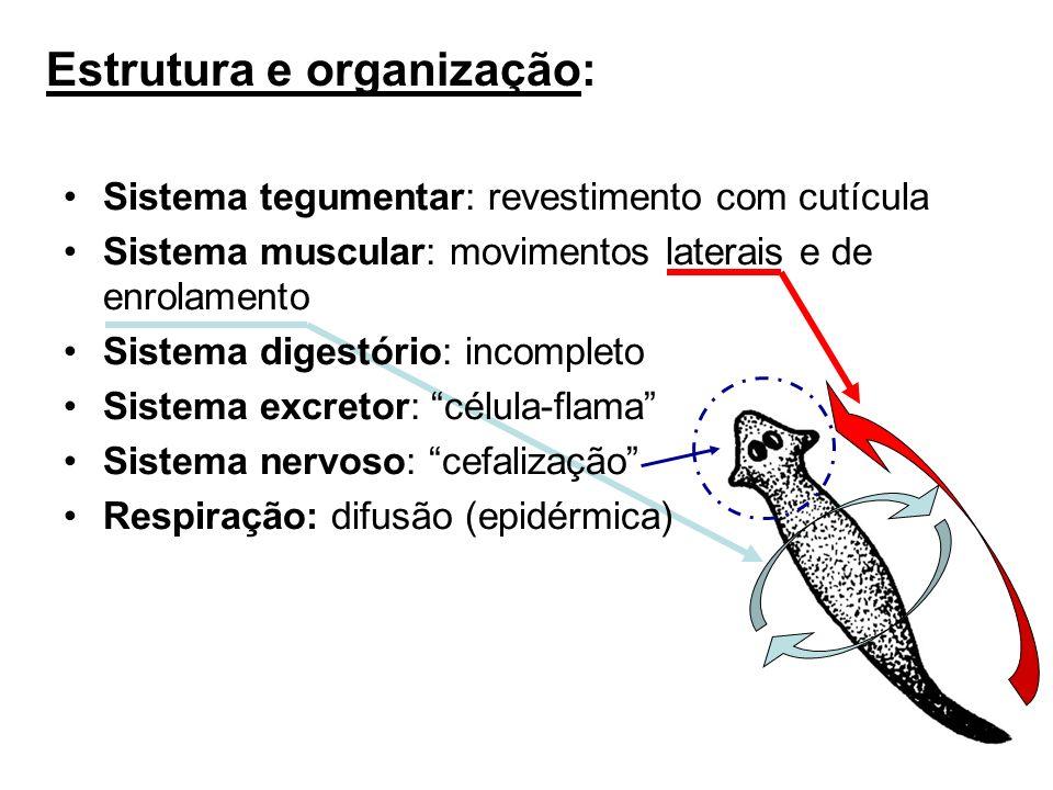 Sistema tegumentar: revestimento com cutícula Sistema muscular: movimentos laterais e de enrolamento Sistema digestório: incompleto Sistema excretor: