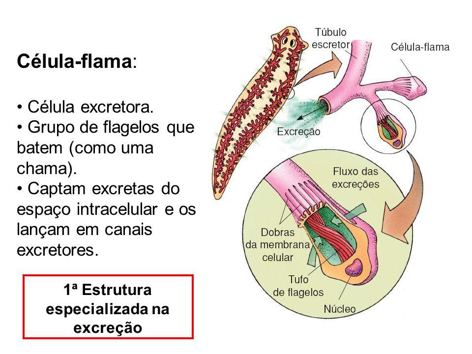 Célula-flama: Célula excretora. Grupo de flagelos que batem (como uma chama). Captam excretas do espaço intracelular e os lançam em canais excretores.