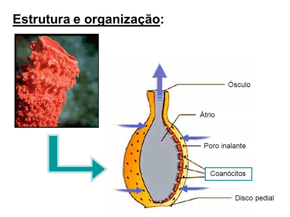 Estrutura e organização: Ósculo Átrio Poro inalante Disco pedial Coanócitos