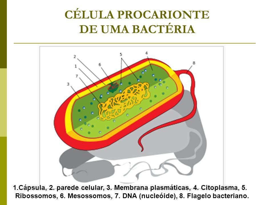 CÉLULA PROCARIONTE DE UMA BACTÉRIA 1.Cápsula, 2. parede celular, 3. Membrana plasmáticas, 4. Citoplasma, 5. Ribossomos, 6. Mesossomos, 7. DNA (nucleói