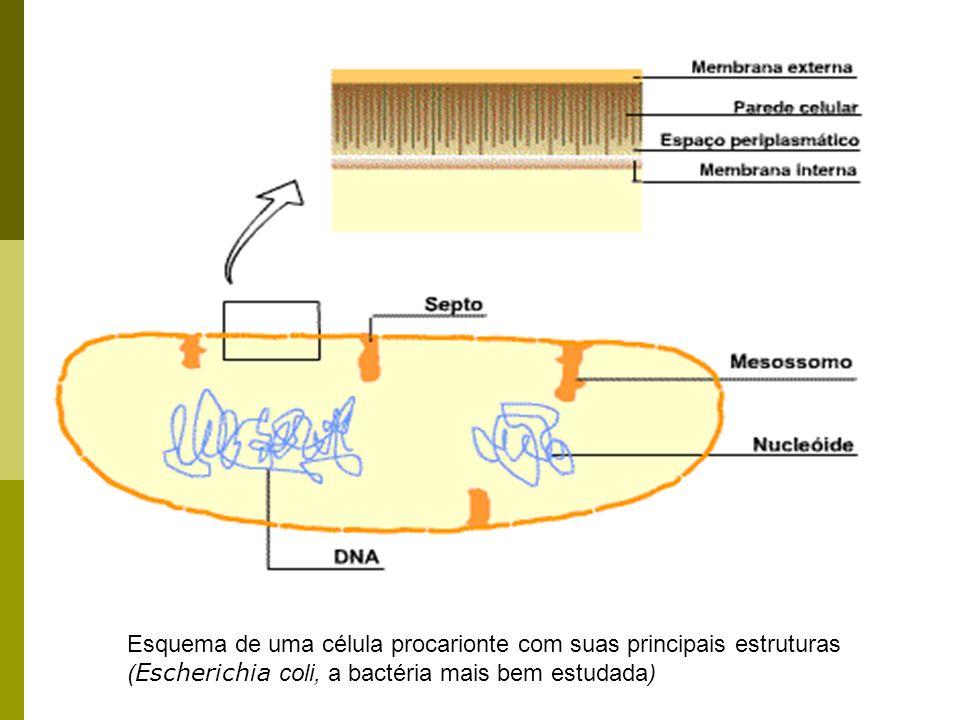Esquema de uma célula procarionte com suas principais estruturas ( Escherichia coli, a bactéria mais bem estudada)
