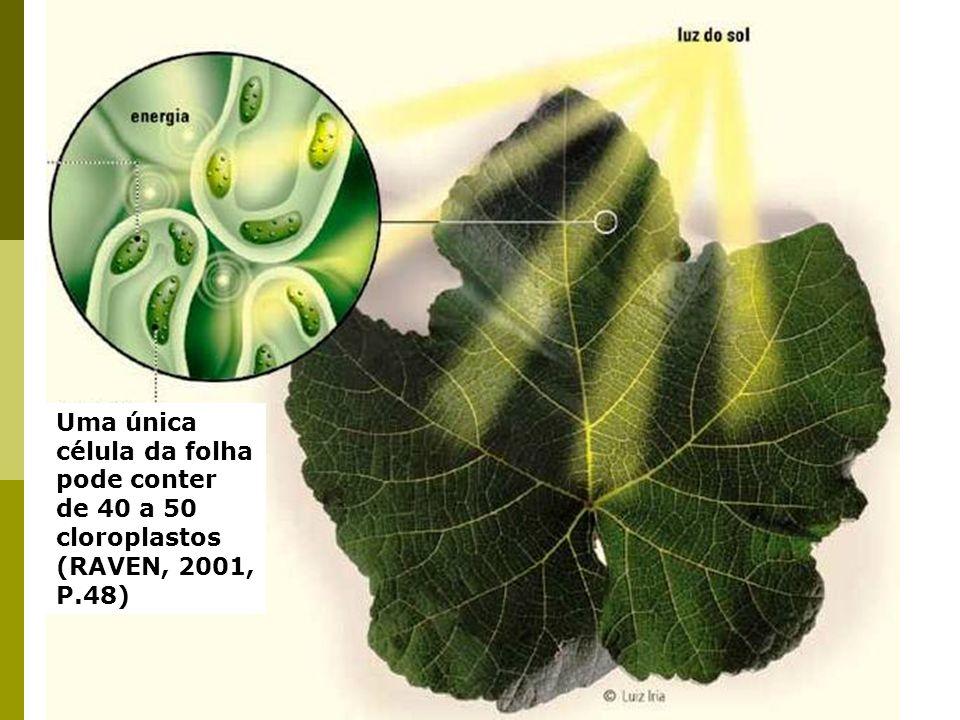 Uma única célula da folha pode conter de 40 a 50 cloroplastos (RAVEN, 2001, P.48)