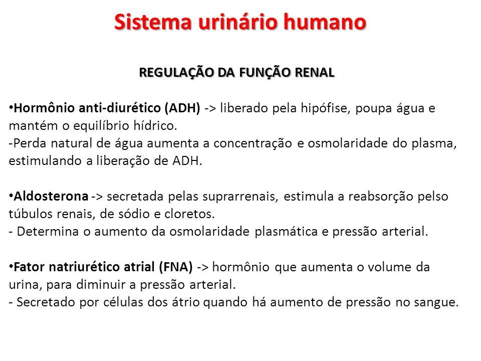 Sistema urinário humano REGULAÇÃO DA FUNÇÃO RENAL Hormônio anti-diurético (ADH) -> liberado pela hipófise, poupa água e mantém o equilíbrio hídrico. -