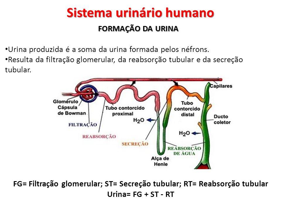 Sistema urinário humano FORMAÇÃO DA URINA Urina produzida é a soma da urina formada pelos néfrons. Resulta da filtração glomerular, da reabsorção tubu