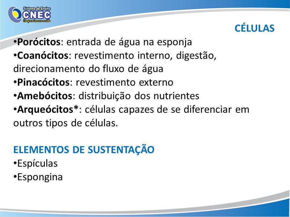 CÉLULAS Porócitos: entrada de água na esponja Coanócitos: revestimento interno, digestão, direcionamento do fluxo de água Pinacócitos: revestimento ex