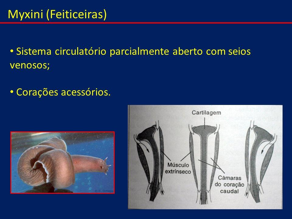 Myxini (Feiticeiras) Sistema circulatório parcialmente aberto com seios venosos; Corações acessórios.