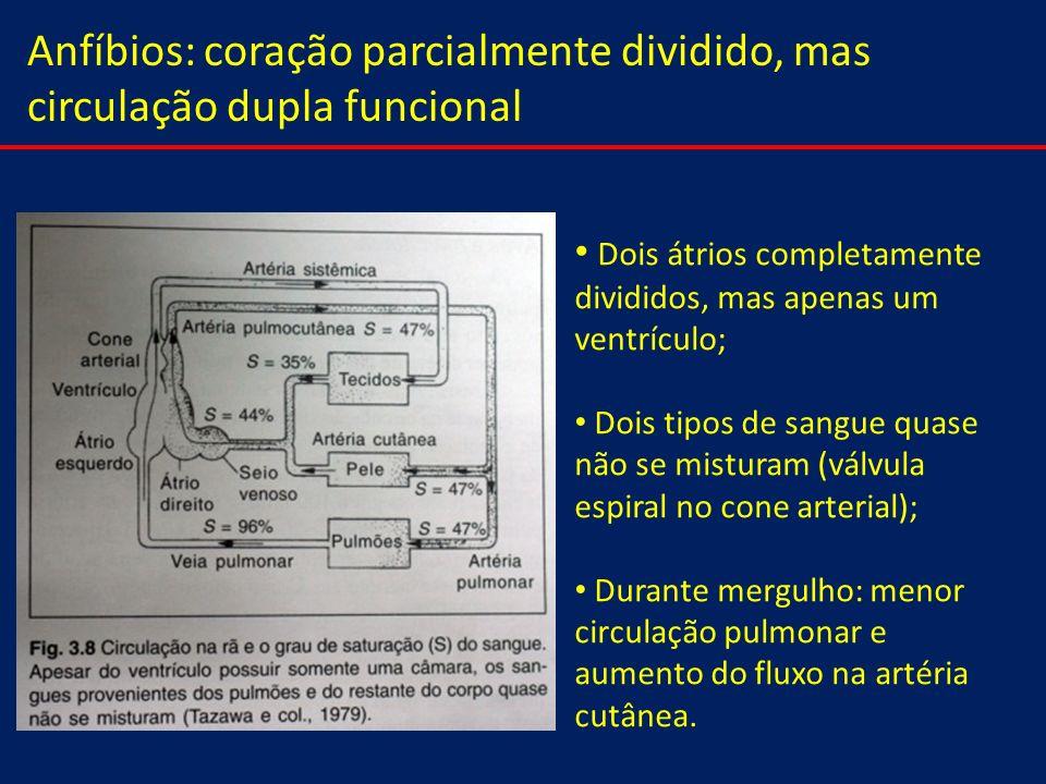 Anfíbios: coração parcialmente dividido, mas circulação dupla funcional Dois átrios completamente divididos, mas apenas um ventrículo; Dois tipos de s