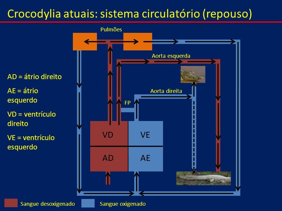 Crocodylia atuais: sistema circulatório (repouso) VEVD AEAD Sangue oxigenadoSangue desoxigenado Pulmões Aorta direita Aorta esquerda FP AD = átrio dir