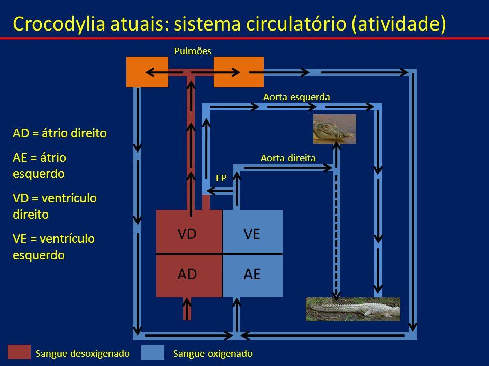 Crocodylia atuais: sistema circulatório (atividade) VEVD AEAD Sangue oxigenadoSangue desoxigenado Pulmões Aorta esquerda Aorta direita FP AD = átrio d