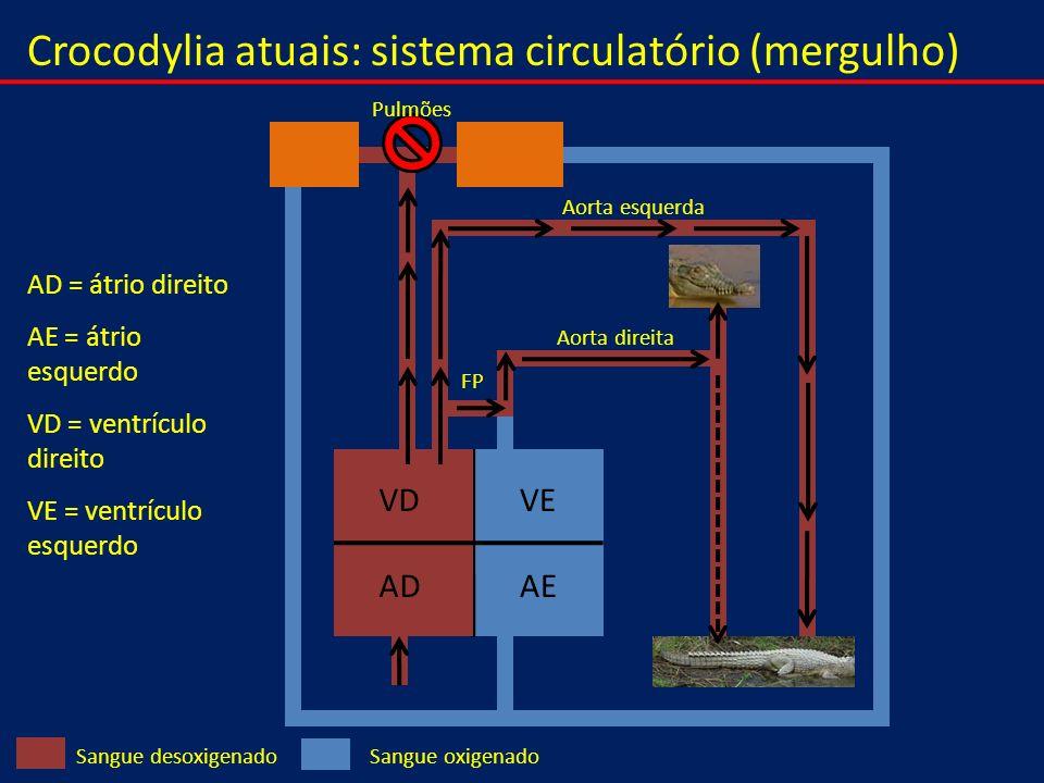 Crocodylia atuais: sistema circulatório (mergulho) VEVD AEAD Sangue oxigenadoSangue desoxigenado Pulmões Aorta esquerda Aorta direita FP AD = átrio di