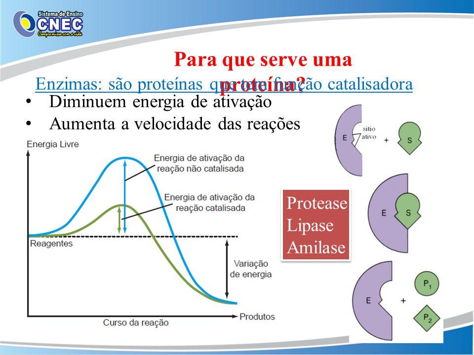 Para que serve uma proteína? Enzimas: são proteínas que tem função catalisadora Diminuem energia de ativação Aumenta a velocidade das reações Protease