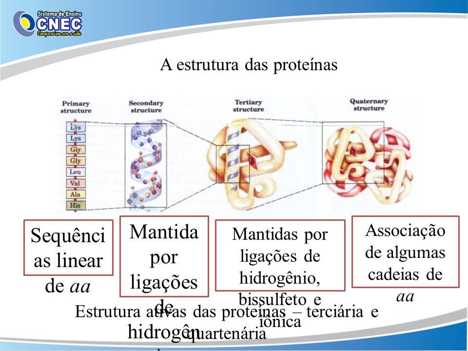 A estrutura das proteínas Sequênci as linear de aa Mantida por ligações de hidrogên io Mantidas por ligações de hidrogênio, bissulfeto e iônica Associ