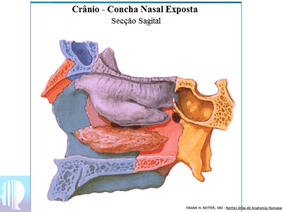 Roteiro de estudo Crânio – Vista Anterior 1)Osso frontal (ímpar) -Glabela -Fissura supra-orbital -Face orbital do osso frontal 2) Osso esfenóide (ímpar) Órbita -Asa maior do osso esfenóide -Asa menor do osso esfenóide 3) Osso lacrimal (par) 4) Etmóide (ímpar) -Lâmina orbital do etmóide -Lâmina perpendicular do etmóide - Concha nasal média do etmóide 5) Concha nasal inferior (par) Crânio – Vista Anterior 6)Osso Zigomático (par) -Face orbital do osso zigomático -Processo frontal do osso zigomático -Processo temporal do osso zigomático 7) Osso nasal (par) -Sutura internasal 8) Maxila (par) -Forame infra-orbital -Espinha nasal anterior -Processo alveolar do maxilar 9) Vômer 10) Mandíbula (ímpar)
