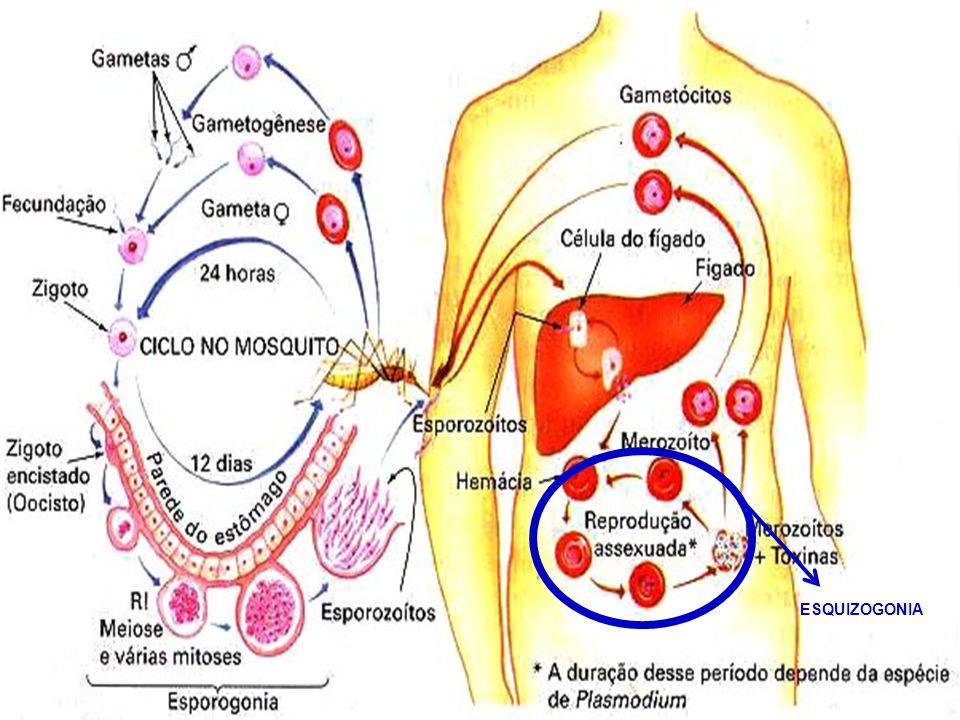 RESUMO DA MALÁRIA: Os parasitas ficam nas glândulas salivares do mosquito.