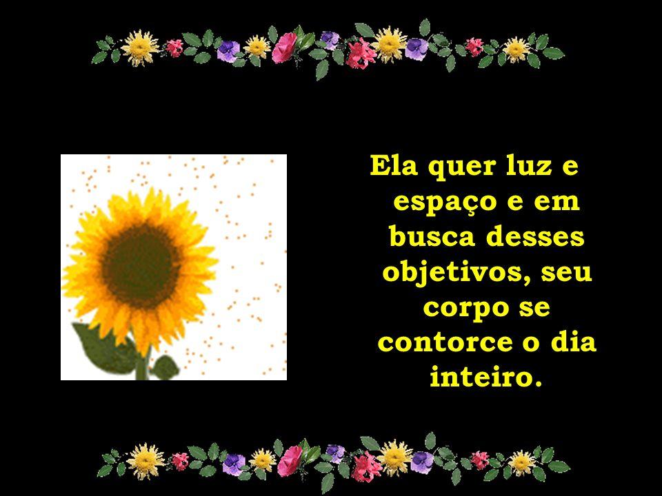girassol O girassol é flor raçuda que enfrenta até a mais violenta intempérie e acaba sobrevivendo.