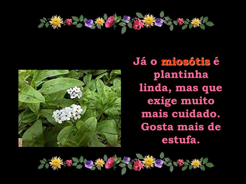 miosótis Já o miosótis é plantinha linda, mas que exige muito mais cuidado. Gosta mais de estufa.