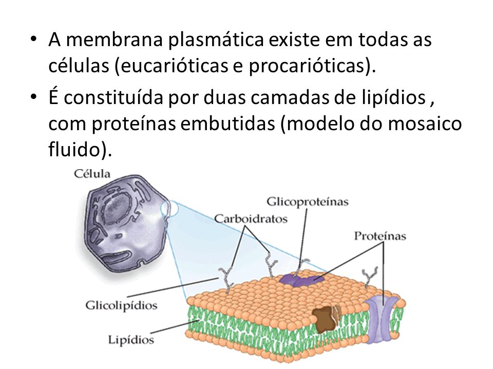 A membrana plasmática existe em todas as células (eucarióticas e procarióticas). É constituída por duas camadas de lipídios, com proteínas embutidas (