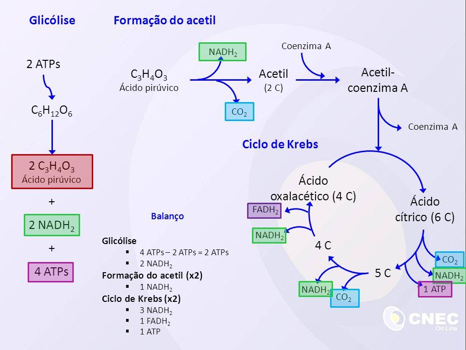 C 6 H 12 O 6 2 ATPs 2 C 3 H 4 O 3 Ácido pirúvico 2 NADH 2 4 ATPs + + C 3 H 4 O 3 Ácido pirúvico GlicóliseFormação do acetil Acetil (2 C) Acetil- coenz