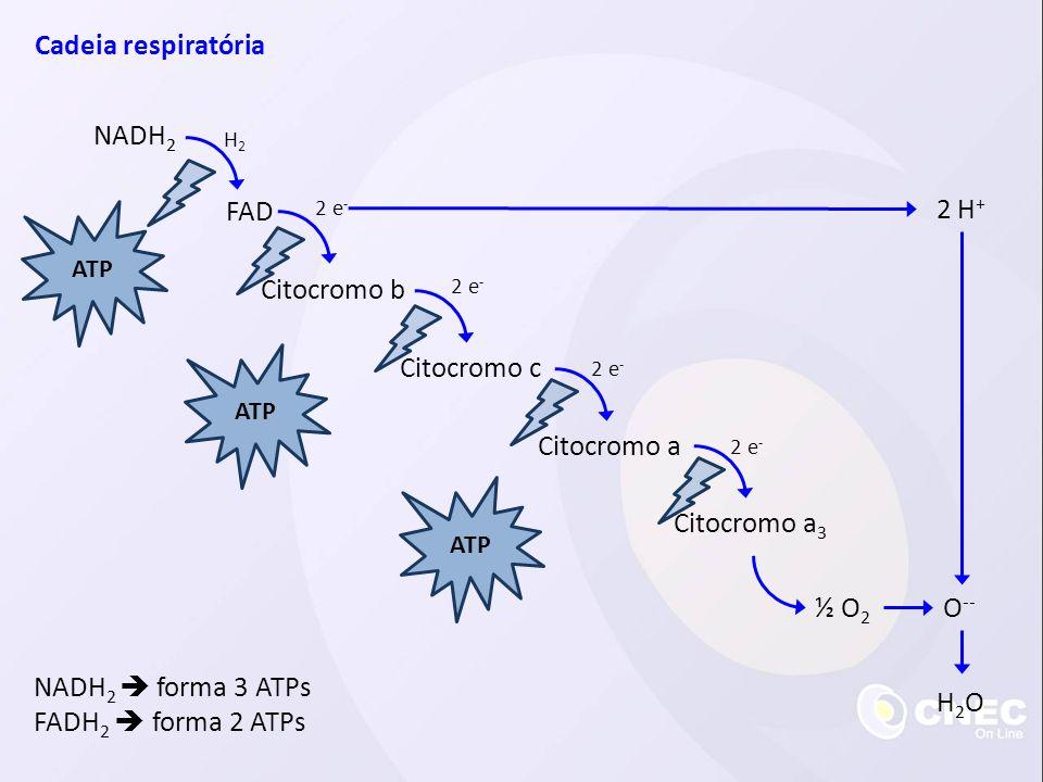 Cadeia respiratória NADH 2 FAD H2H2 Citocromo b Citocromo c Citocromo a Citocromo a 3 2 e - ATP ½ O 2 O -- 2 H + H2OH2O NADH 2 forma 3 ATPs FADH 2 for