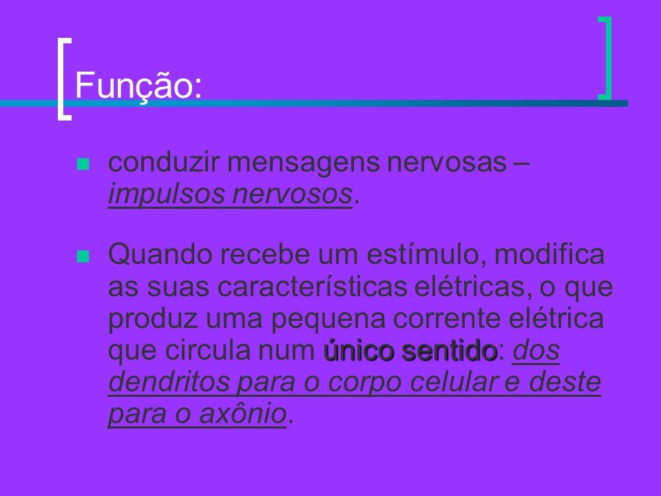 Função: conduzir mensagens nervosas – impulsos nervosos. Quando recebe um estímulo, modifica as suas características elétricas, o que produz uma peque