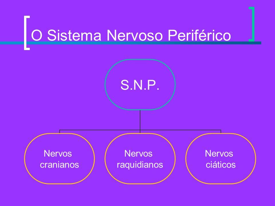 O Sistema Nervoso Periférico S.N.P. Nervos cranianos Nervos raquidianos Nervos ciáticos