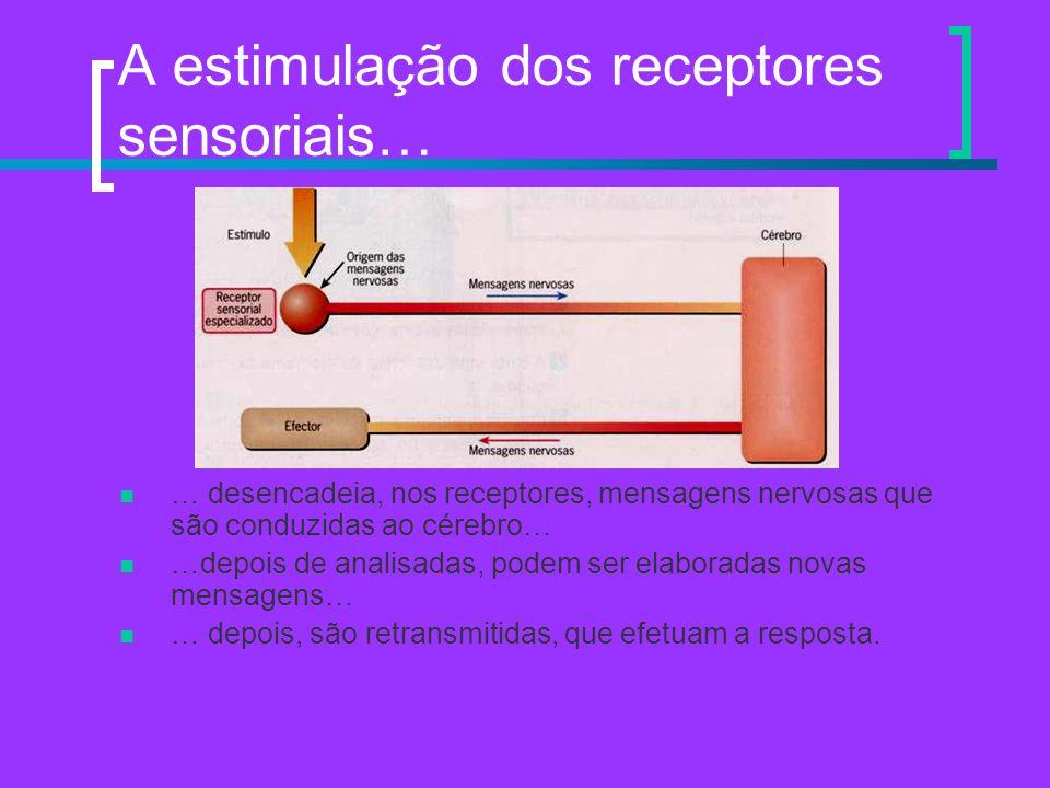 A estimulação dos receptores sensoriais… … desencadeia, nos receptores, mensagens nervosas que são conduzidas ao cérebro… …depois de analisadas, podem