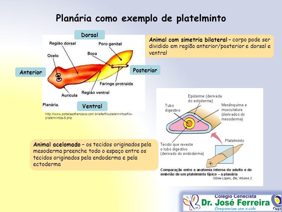 Planária como exemplo de platelminto http://www.portalsaofrancisco.com.br/alfa/filo-platelmintos/filo- platelmintos-6.php Animal com simetria bilatera