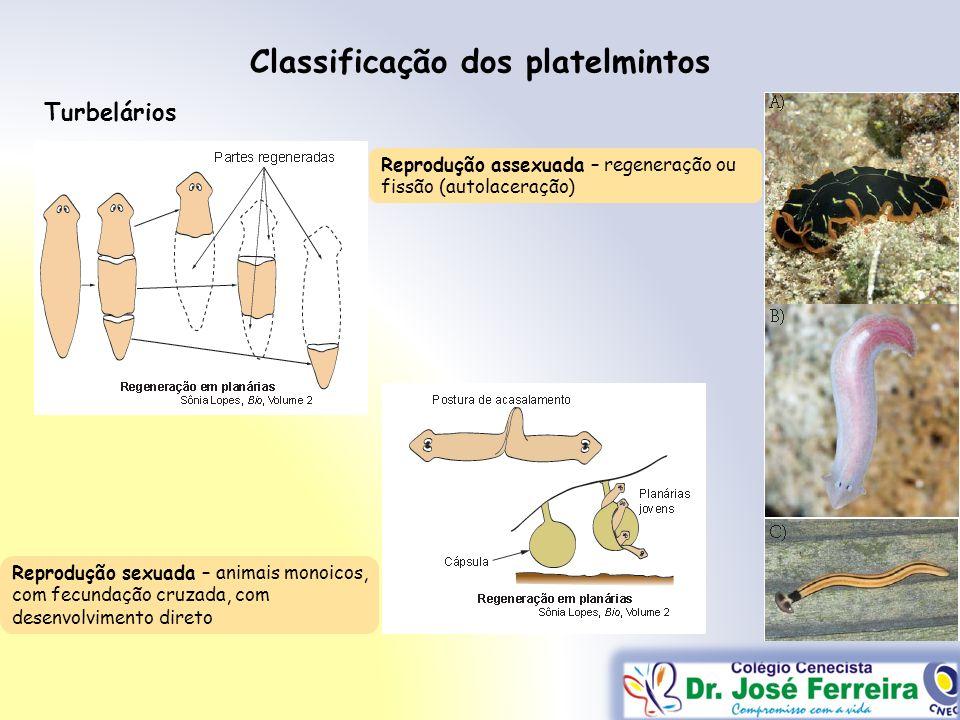 Classificação dos platelmintos Turbelários Reprodução assexuada – regeneração ou fissão (autolaceração) Reprodução sexuada – animais monoicos, com fec