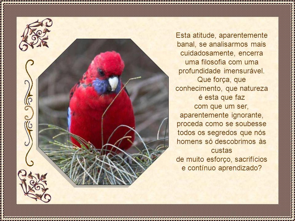 Pronto o ninho, o pássaro, digamos, uma canária, bota de 3 a 5 ovos, sendo o último geralmente de um cinza mais escuro.
